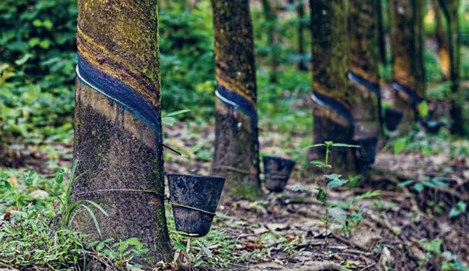 Rubber trees for wetsuit production